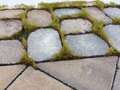 Moss Growing in Paver Joints