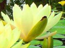 Kingdom Landscaping yellow water lily