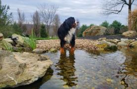 Kingdom Landscaping Pond Builder Dog Pond Bernese Mountain Dog Aquascape Ecosystem Wetland Filtration Beach Edge