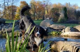 Kingdom Landscaping Pond Builder Dog Pond Bernese Mountain Dog Aquascape Wetland Filtration