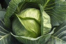 When to plant cabbage