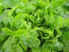when to plant lettuce
