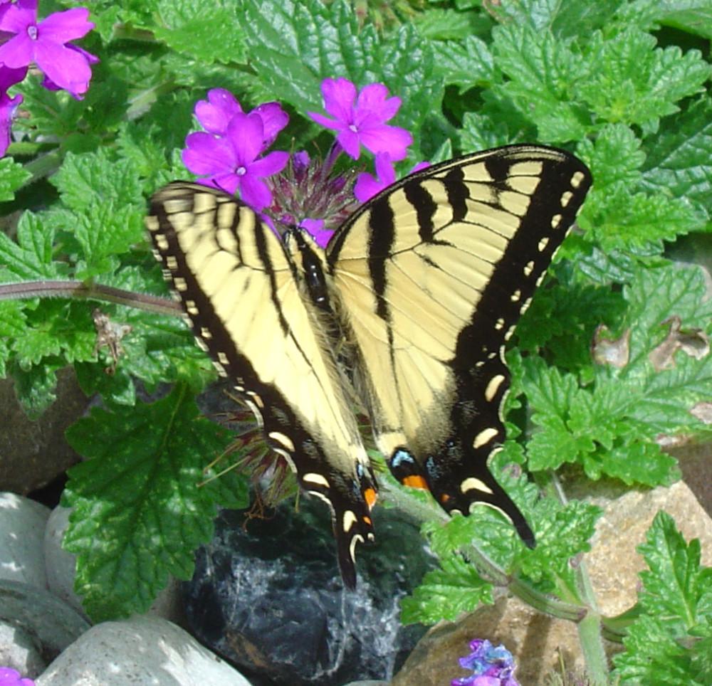 YellowSwallowtail